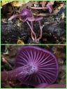 Laccaire_laque_amethyste_-_Laccaria_amethystina_-_L02_-_Sortie_158_-_Ndeg0074_A.jpg