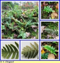 Polypode_commun_-_Polypodium_vulgare_-_P18_-_Sortie_123_-_IMG_0059_-_A.JPG
