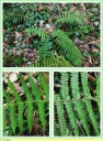 Polystic_a_aiguillons_-_Polystichum_aculeatum_-_P48_-_Sortie_127_-_IMG_0141_-_A.jpg